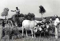 Les vaches dans nos campagnes 3