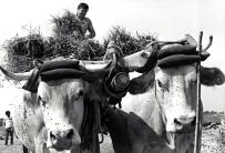 Les vaches dans nos campagnes 4