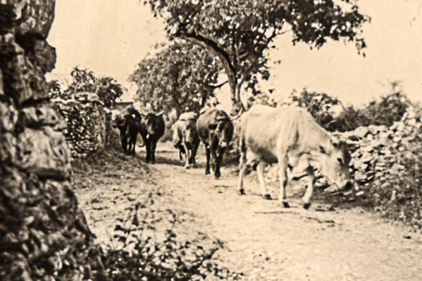 Les vaches dans nos campagnes