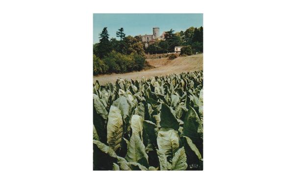 Plantation de tabac dans la pente du château